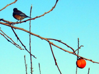 Western bluebird and persimmon